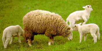 SheepNThreeLambs.jpg (10408 bytes)
