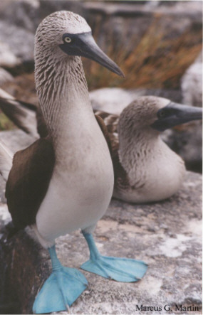 blue_footed_booby_standSMALL.jpg (48425 bytes)